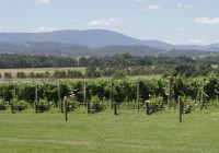 Wine Tourist in Yarra Valley