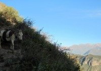 donkey-in-colca-canyon