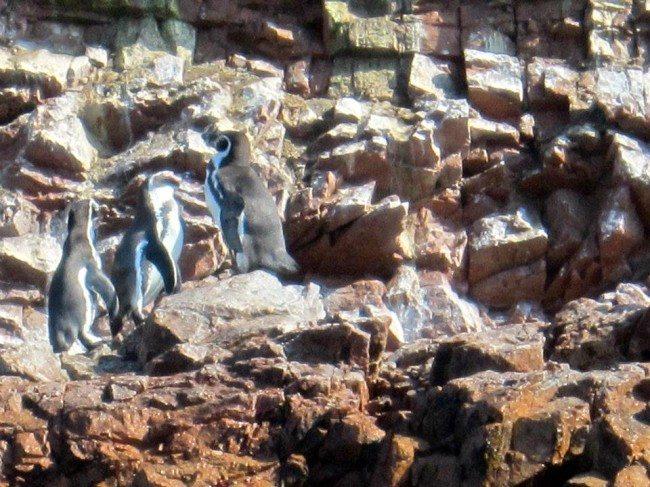 Islas Ballestas Penguins
