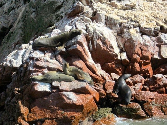 Islas Ballestas sea lions