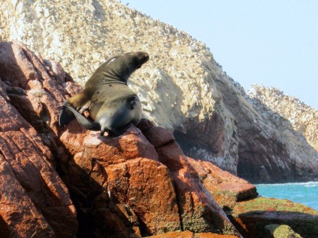 Islas Ballestas sealions