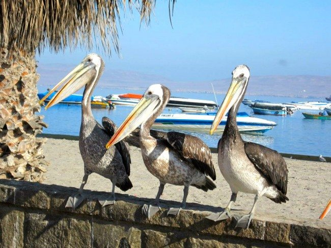 Pelicans Islas Ballestas
