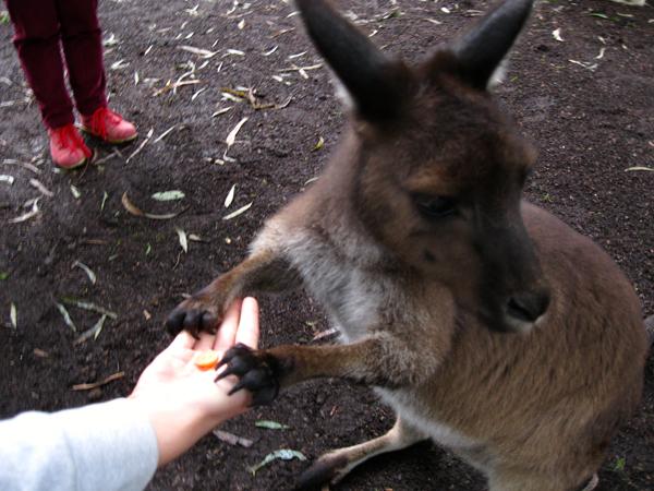 Healesville Sanctuary Victoria Australia Kangaroo