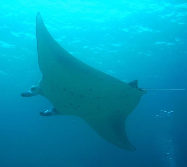 Manta Rays Nusa Lembongan