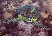 Diving Gilies Indonesia Turtle