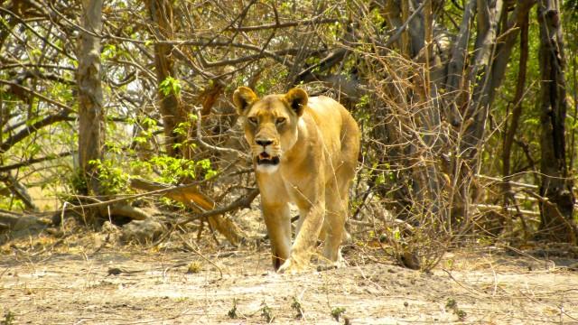 Close Encounters in Botswana, Africa