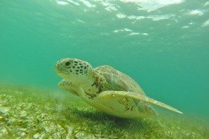 Turtles in Akumal Bay, near Tulum, Mexico