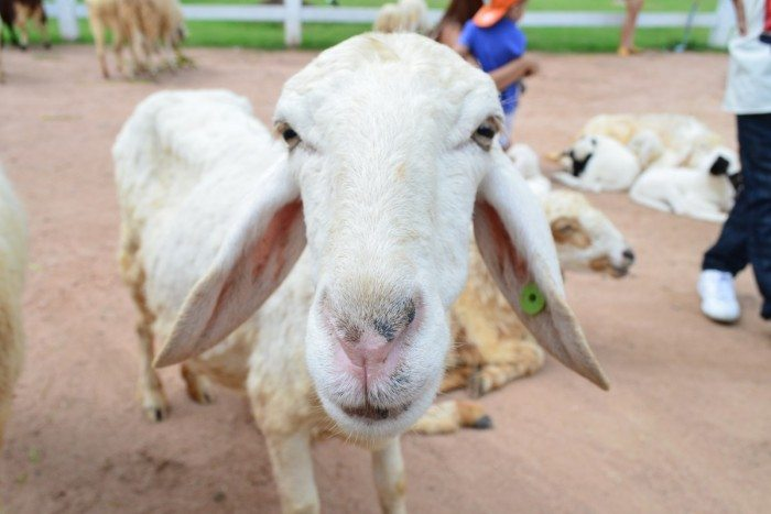 Pattaya's Top Activities - Pattaya Sheep Farm