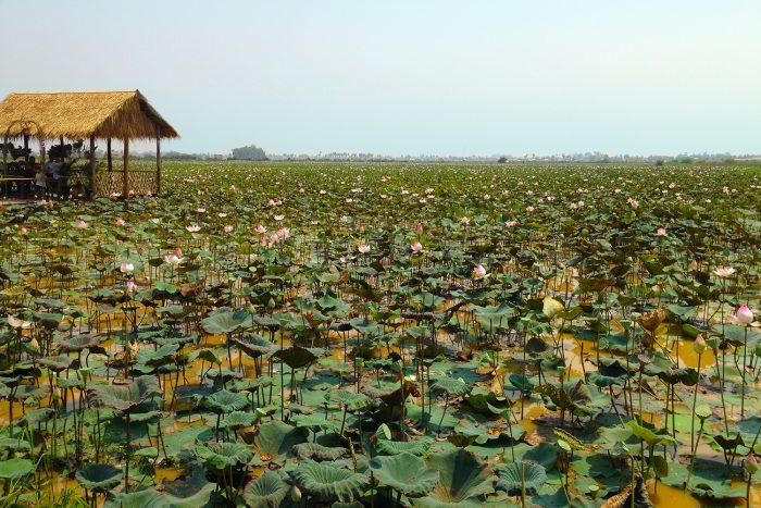 Samatoa Lotus Farm Siem Reap Cambodia