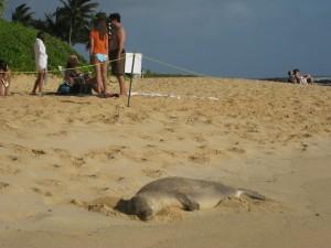 Seal on the beach Hawaii