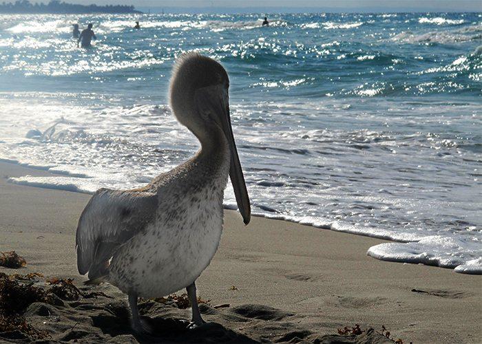 Pelican on the Beach Cuba