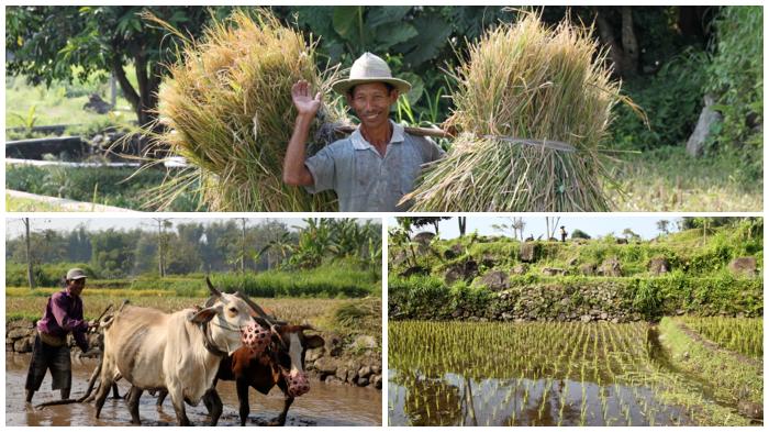 Organic Farming Rice Paddies near Kaliandra Eco Resort