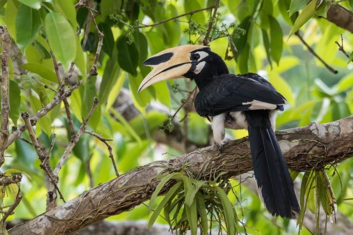 Hornbill in Langkawi Malaysia