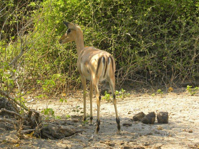 3 day safari in Botswana Africa in Chobe National Park