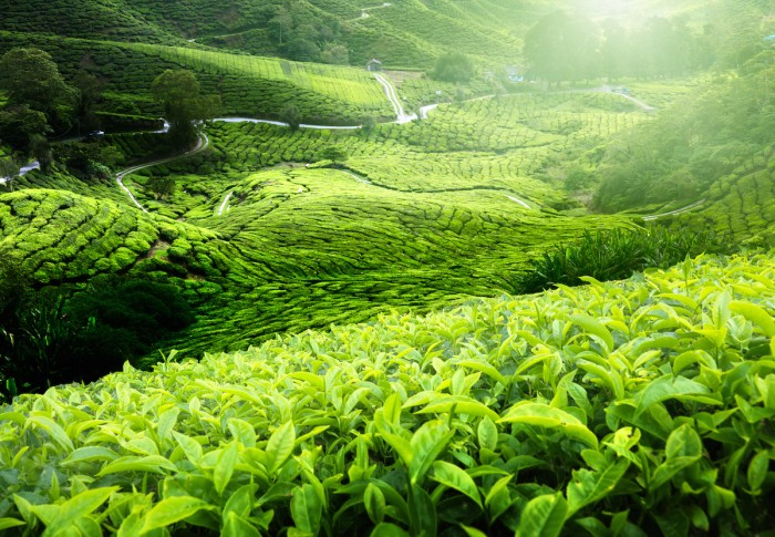 Tea plantation Cameron highlands, Malaysia - easy weekend getaway from Singapore