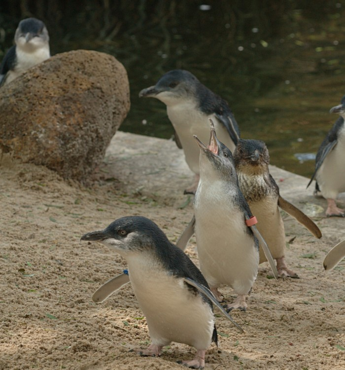 Melbourne Must Dos - Penguins