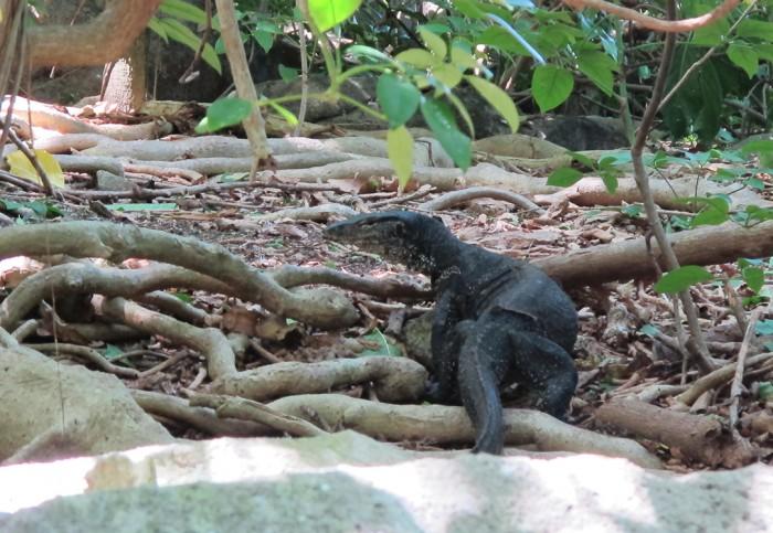 Belitung Island Hidden Paradise Monitor Lizzard
