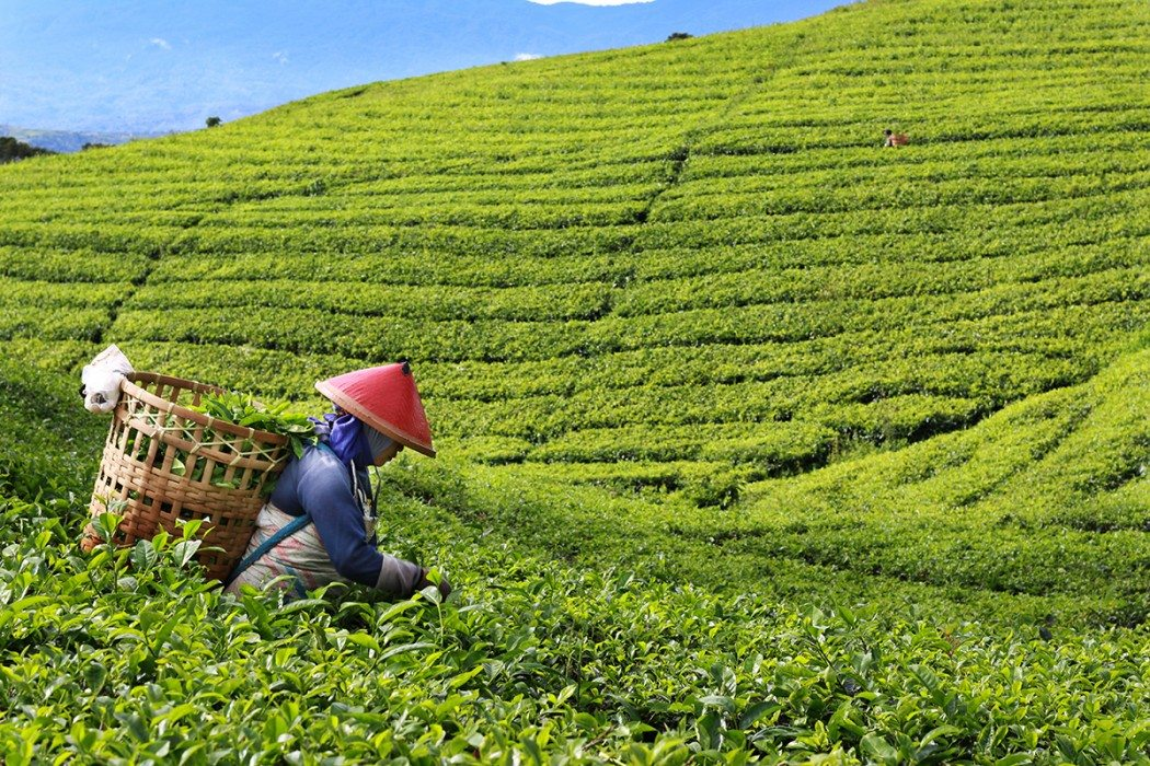 Lady in Tea Plantation Pagar Alam South Sumatra Indonesia