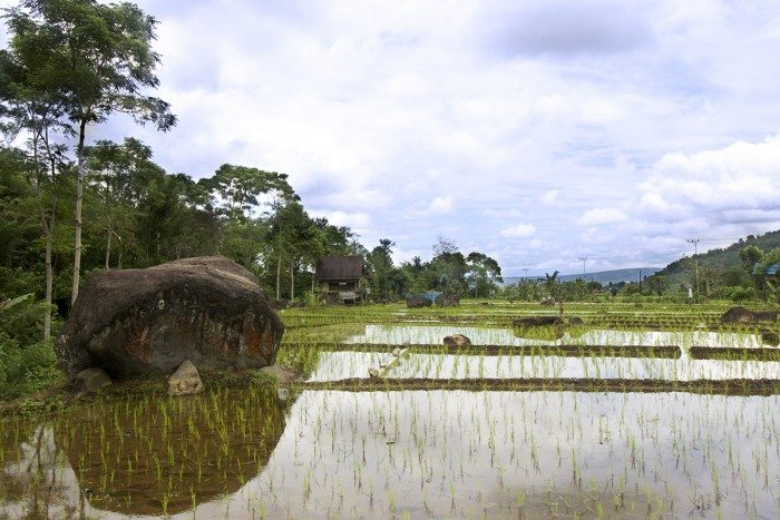 Pagar Alam Rice Fields with sacred rock