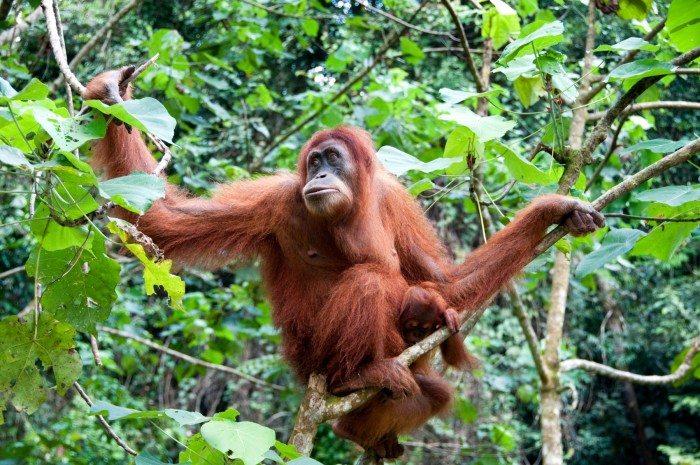 Orangutan Kuching Sarawak Malaysia