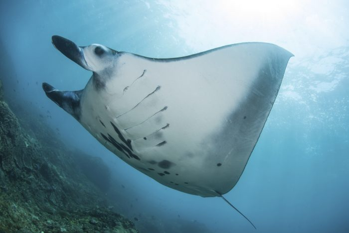 Near Bali, Indonesia, a Manta ray (Manta alfredi) swims over a reef on its way to a cleaning station where small reef fish will remove parasites.